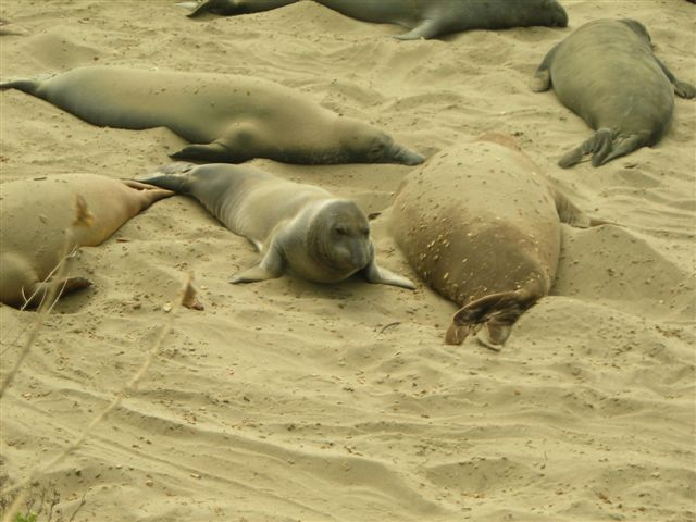 Another Shot of Elephant Seals.JPG